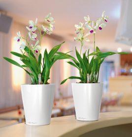 A_DLT_2_w_Orchideen